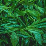 とは 高級茶 日本一 玉露 伝統本玉露 福岡の八女茶 日本茶 八女 緑茶 お茶種類 歴史 特徴 yame tea green gyokuro 1
