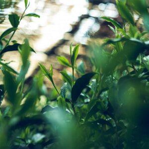 とは 高級茶 日本一 玉露 伝統本玉露 福岡の八女茶 日本茶 八女 緑茶 お茶種類 歴史 特徴 yame tea green gyokuro 2