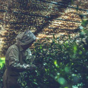 とは 高級茶 日本一 玉露 伝統本玉露 福岡の八女茶 日本茶 八女 緑茶 お茶種類 歴史 特徴 yame tea green gyokuro 3