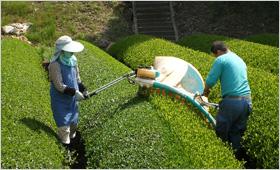 収穫 摘み取り 機械 可搬型摘採機 乗用型摘採機 八女茶 1